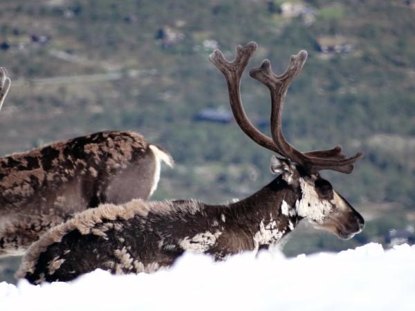 Северный олень в Норвегии